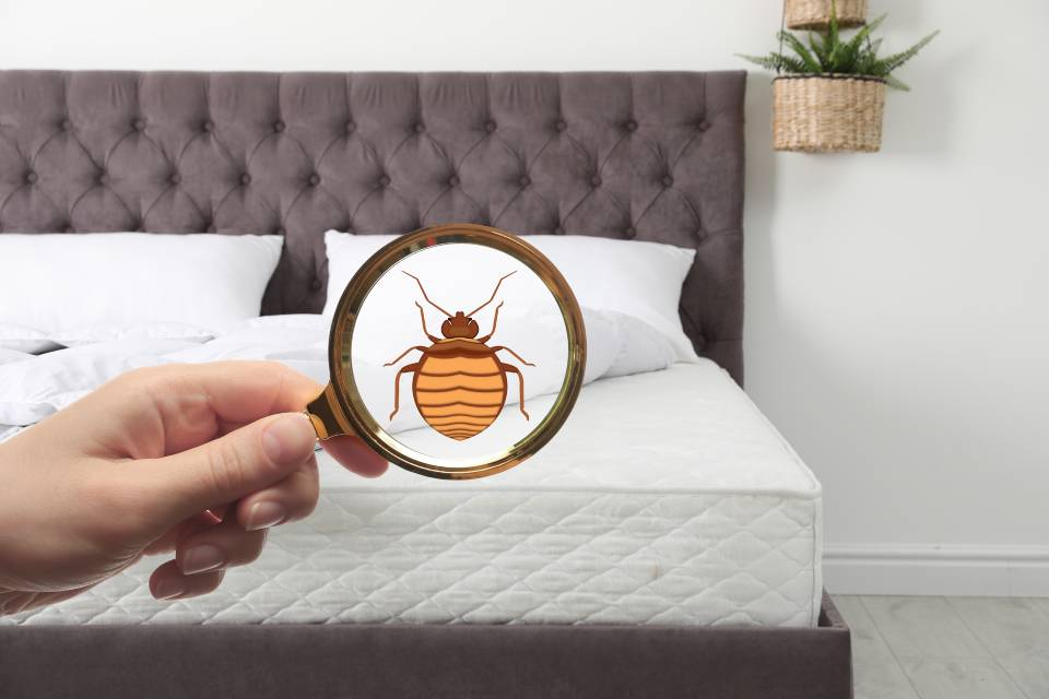 bed bug droppings